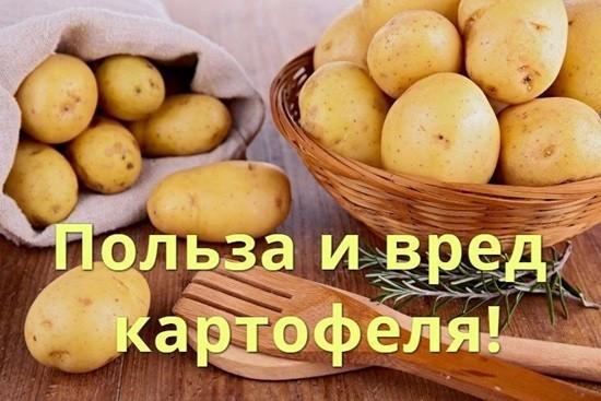 Польза и вред картошки для организма человека